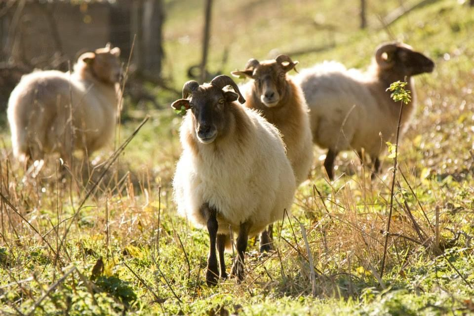 the Dutch sheep breed: Drentish heathsheep, the oldest sheepbreed of western Europe, originated 4000-6000 b.c. is an extremely endangered sheepbreed which now mostly survives in the Dutch province of Drente and is treatened to go extinct due a lack of interest in their wool