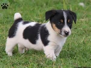 Jack Russell Terrier Mix Puppies For Sale Jack Russell Terrier Mix
