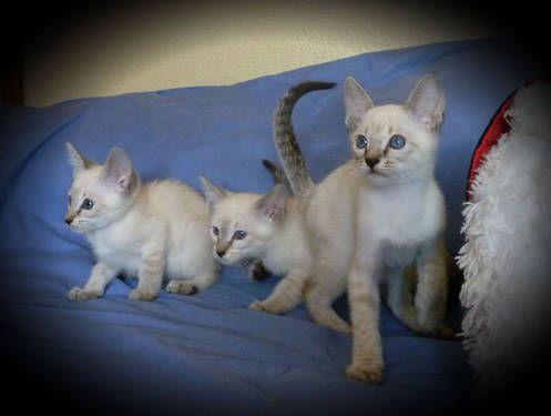 So Cute Love Their Blue Eyes Lynx Point Siamese Kittens Siamese Kittens Beautiful Kittens I Love Cats