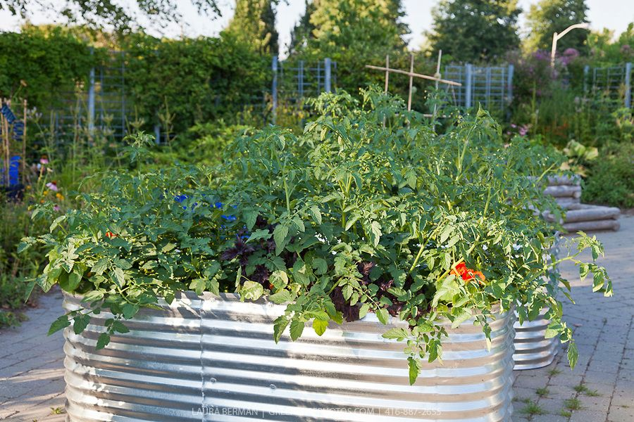 Tomatoes growing in raised, corrugated galvanized planters in a