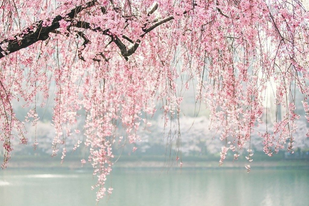 Japan Cherry Blossom Tree Flowers Wallpaper White Blossom Tree 1920x1200 Wallpaper Blossom