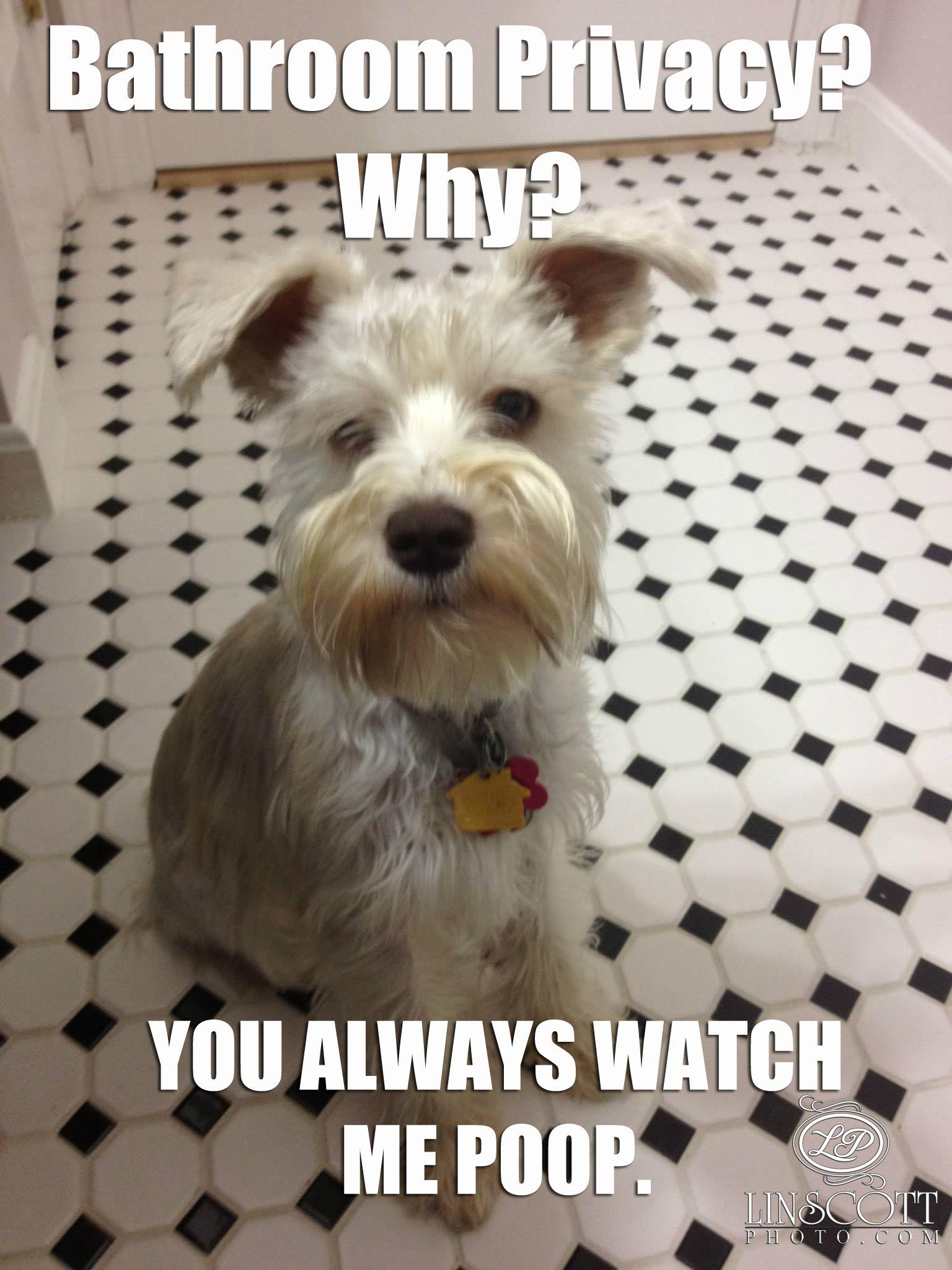 Miniature Schnauzer Memes Pompom Never Leaves My Side Www Linscottphoto Com Funny Animals Funny Animal Pictures Funny Dog Pictures