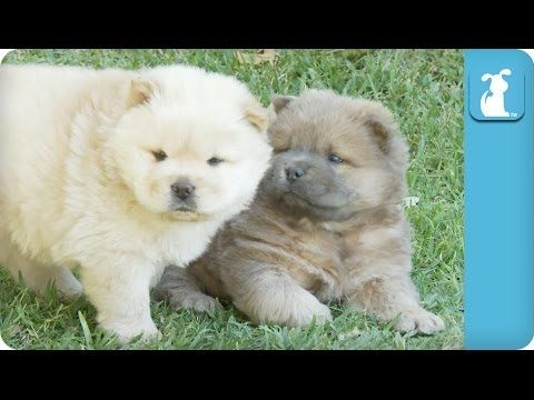 Hungry Chow Puppies Chase Mama Puppy Love Dogs Dogs Dogs And