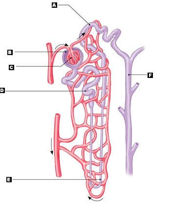 Label A Nephron Quiz Google Search Anatomy And Physiology