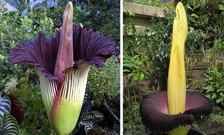 Corpse Flower Which Smells Like Rotting Flesh And Can Grow Up To 10 Feet Tall Plants Planting Flowers Corpse Flower