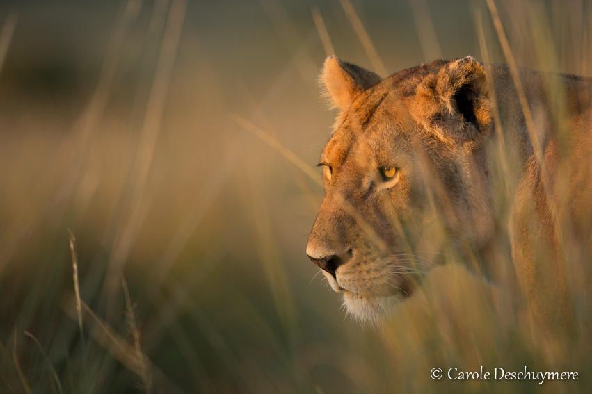 Golden lioness by Deschuymere Carole on 500px