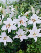 Valkoinen Oriental-lilja