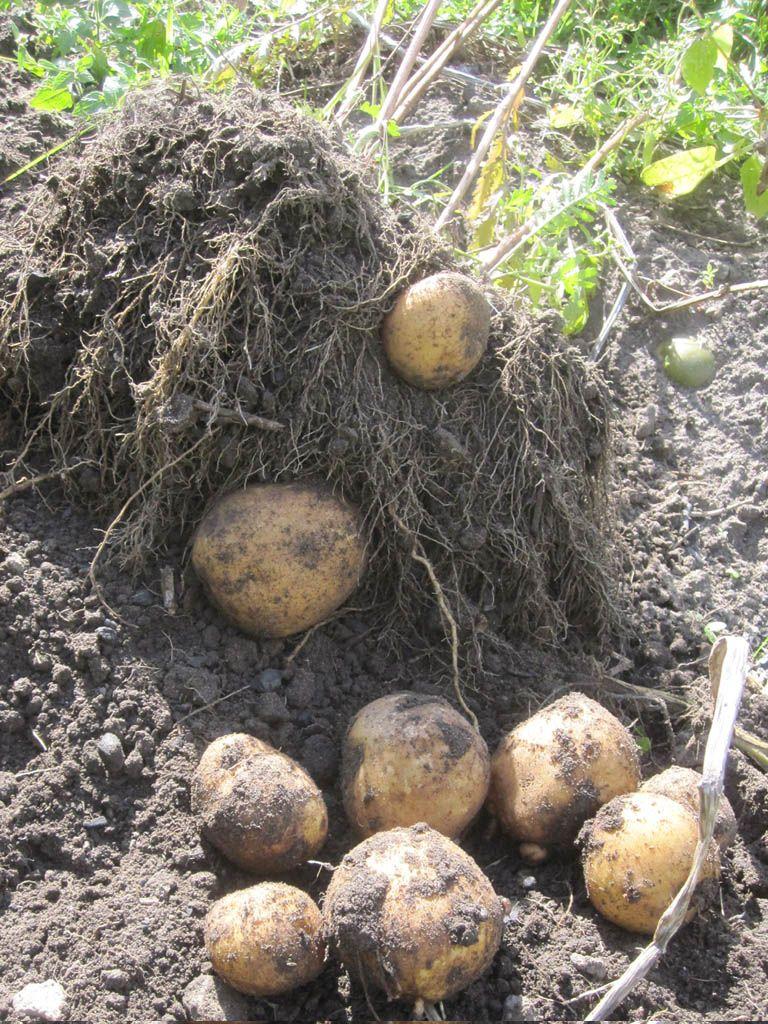 Kartoffel anbau mischkultur in gesellschaft von rainfarn for Wann kartoffeln pflanzen