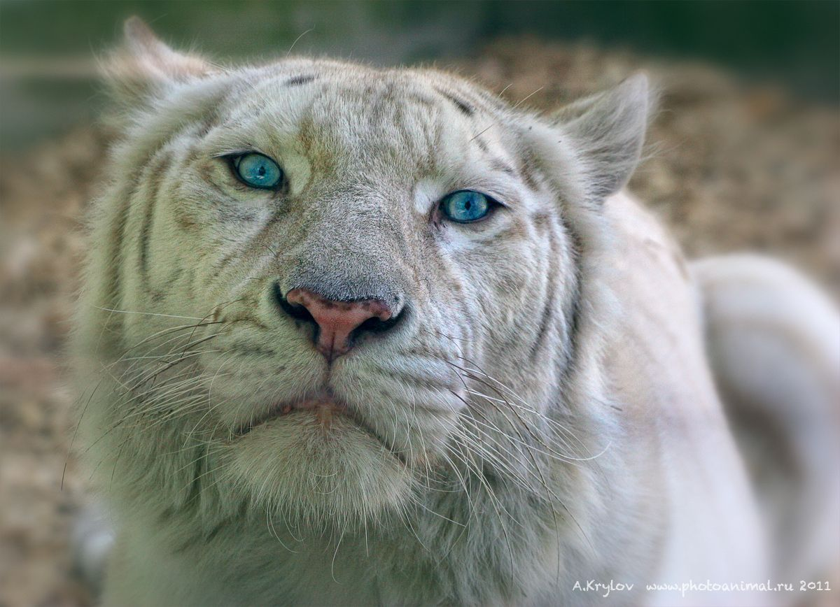 White tigers have been crossed with lions to produce white