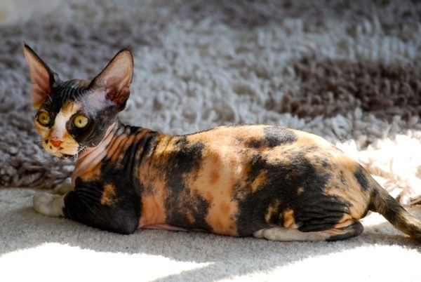 Rextreme Devon Rex Black Tortie Bicolour Devon Rex Cats Devon