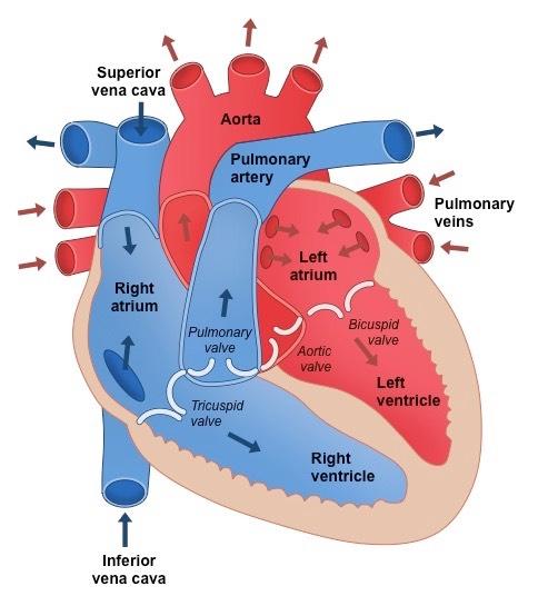 Heart Structure | BioNinja in 2020 | Heart structure ...