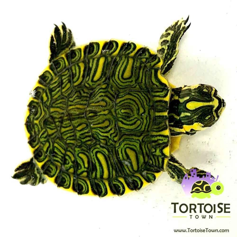 Yellow Bellied Slider Turtle Turtles For Sale Slider Turtle Aquatic Turtles