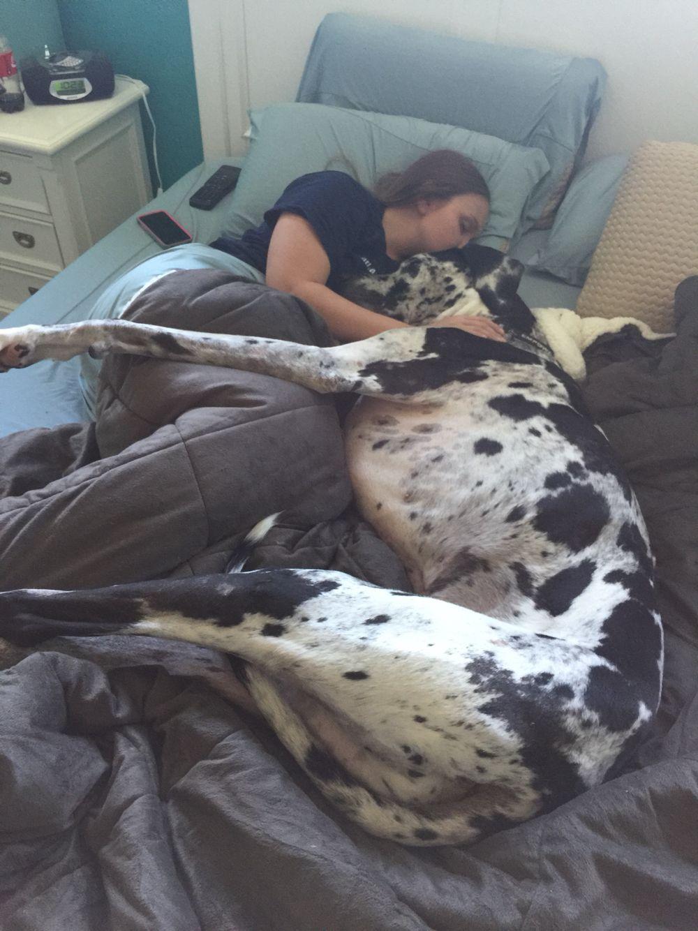 Resultado de imagen para great dane cuddle owner