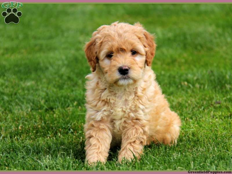 Mini Goldendoodles For Darla Goldendoodle Puppy From Gordonville Pa
