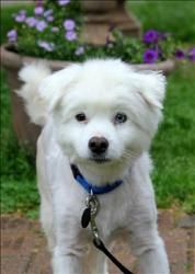 Fraggle Is An Adoptable American Eskimo Dog Dog In Charlottesville