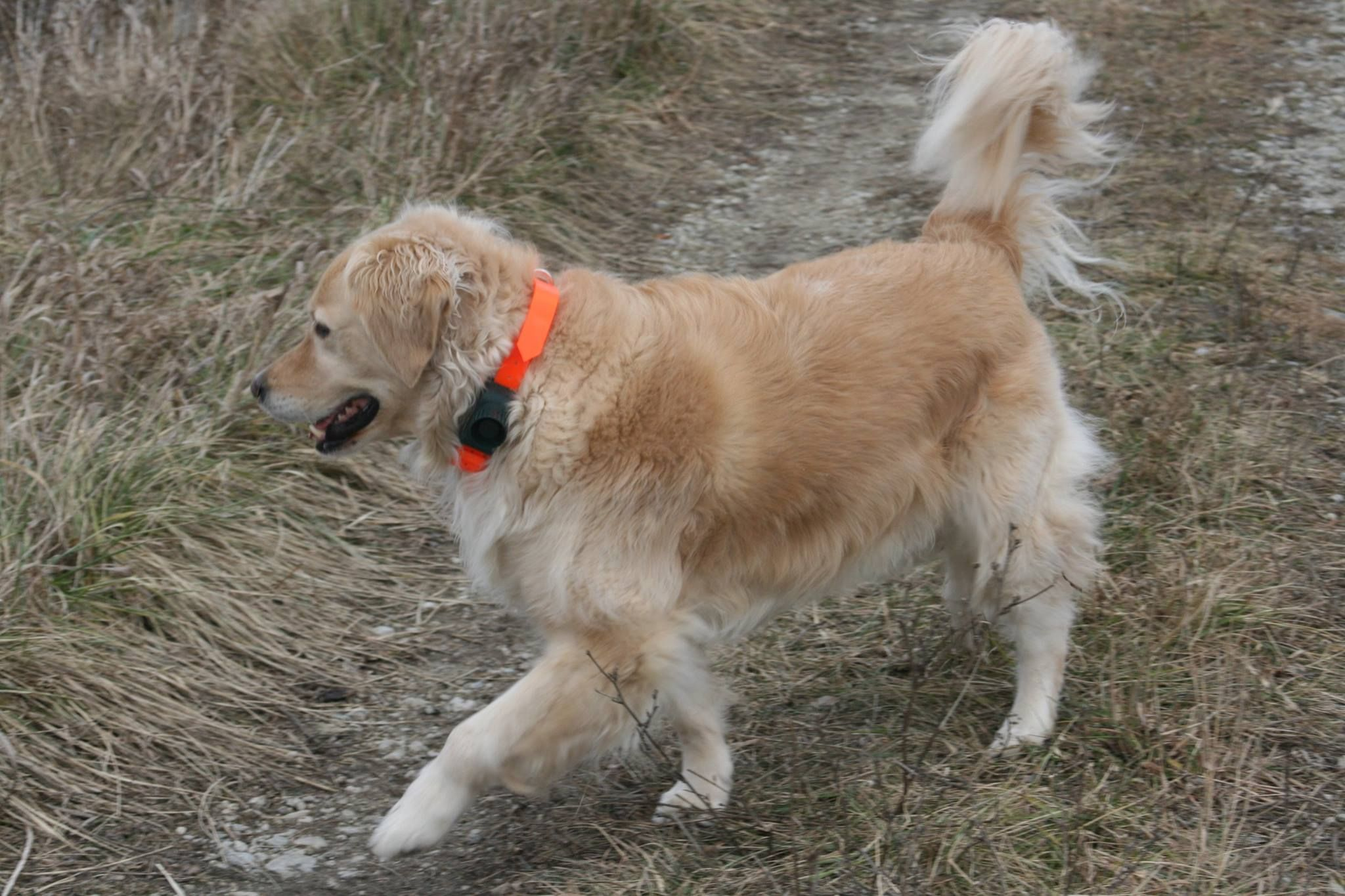 One Of The Most Gorgeous Golden Retrievers Wearing Our Pet910