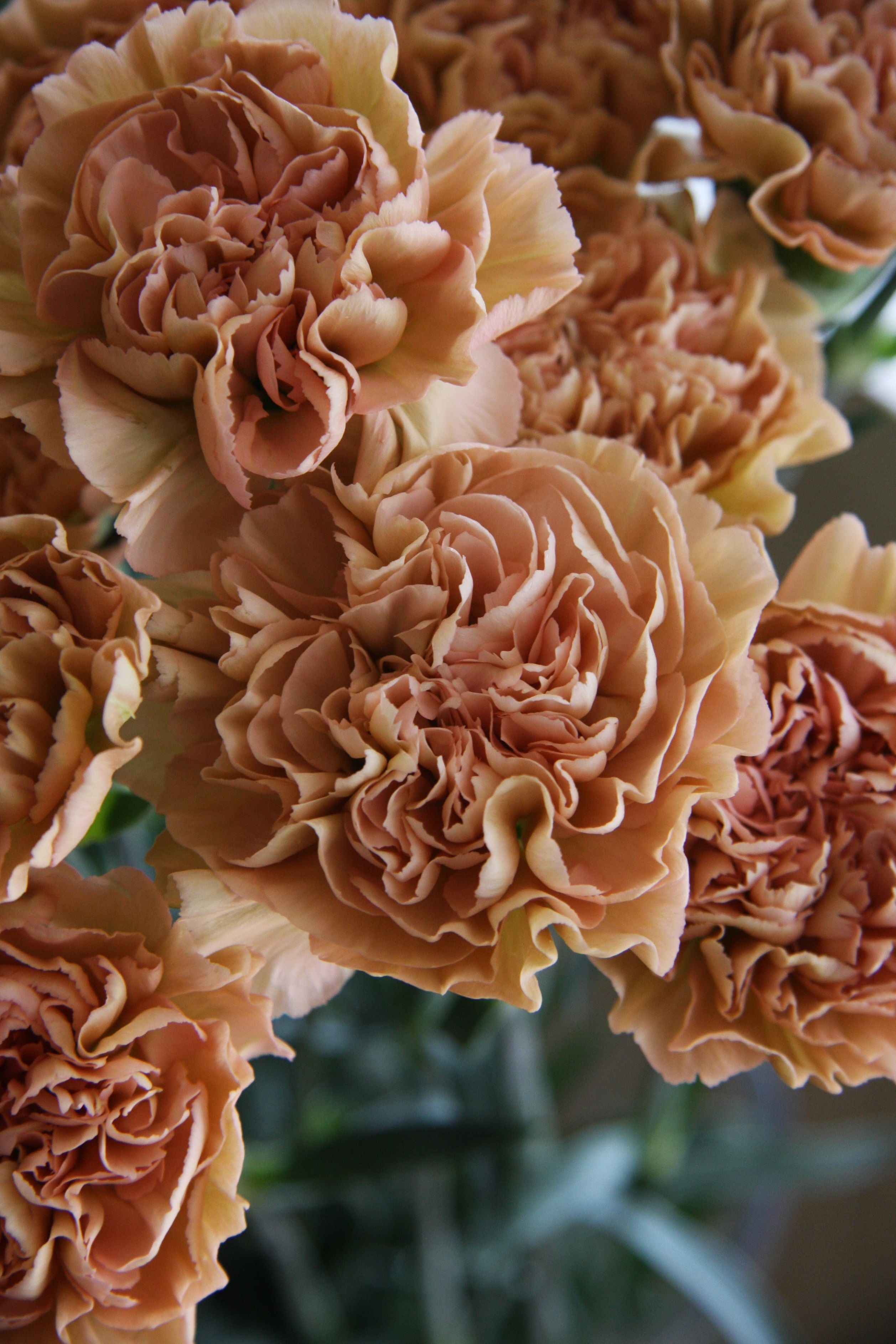 Carnation Love This Color Carnations Carnation Flower Carnation Colors