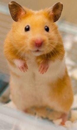 """All About Syrian """"Teddy Bear"""" Hamster Bear hamster"""