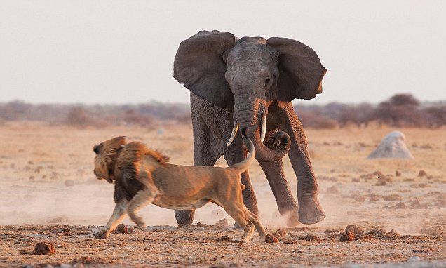 c544c212c King of the watering hole! Fearless lion fights off bull elephant ...