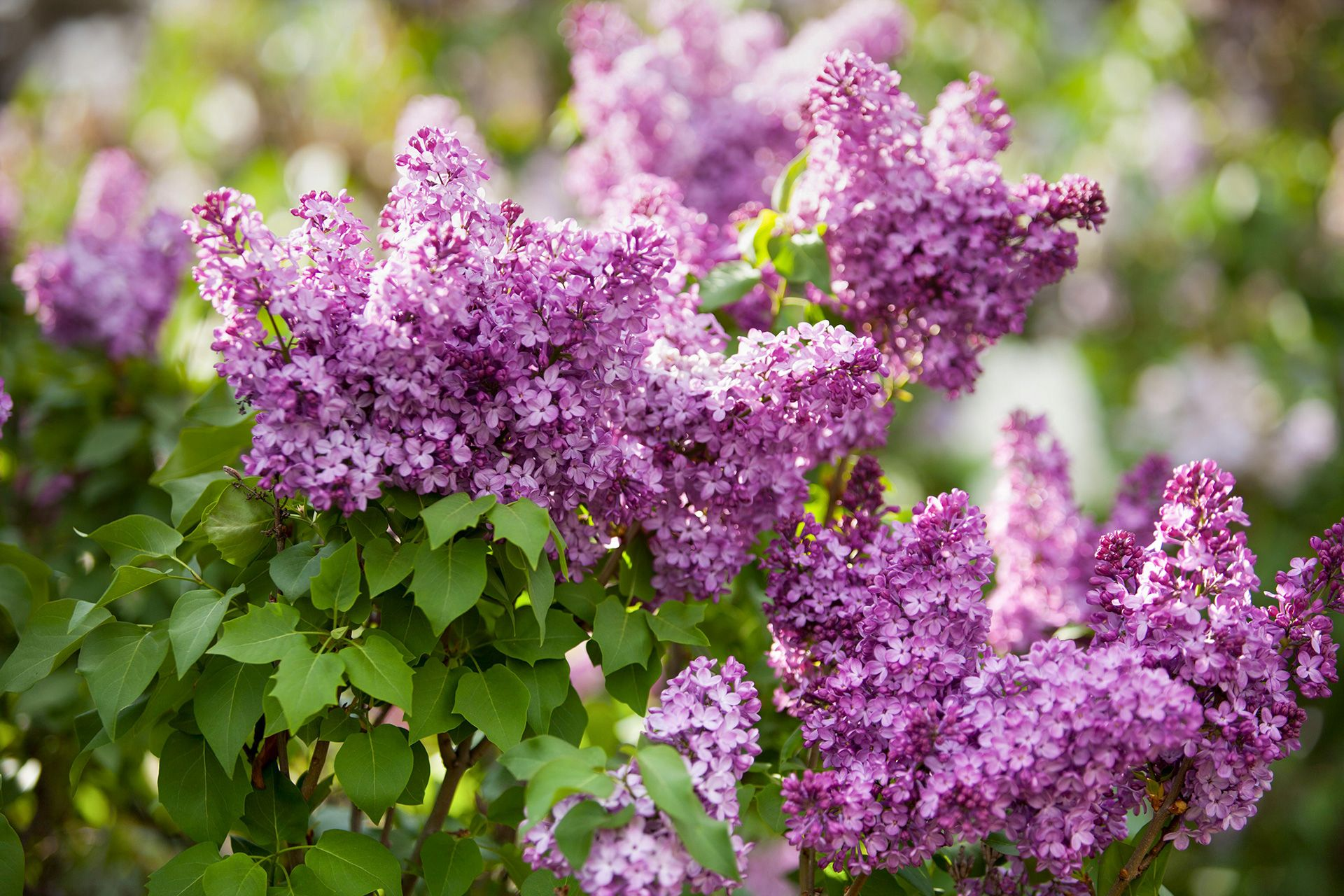6 Lilac Facts That Will Surprise You In 2020 Lilac Varieties Flowering Shrubs Shrubs