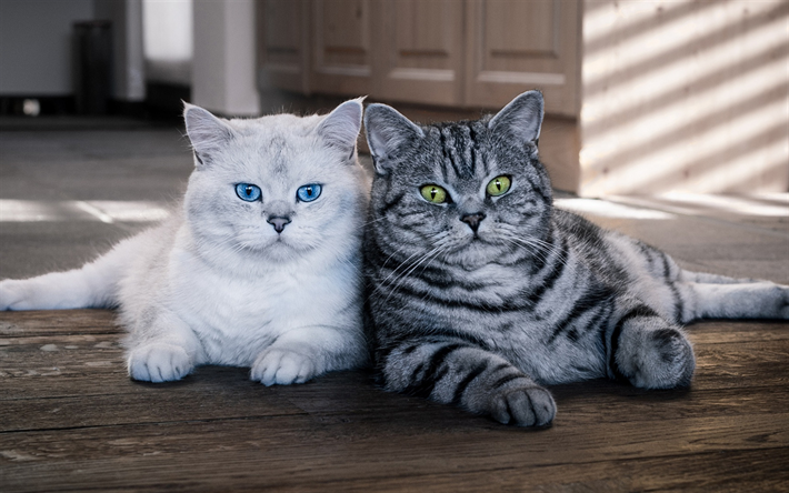 Download Wallpapers British Shorthair Family Gray Cat White Cat Pets Cats Grey Cats Cute Kitten Gif Kittens Cutest