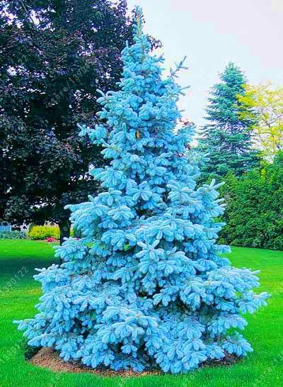 8QzJs1Tg 100Pcs Colorado Sky Blue Spruce Picea Pungens Glauca Tree Seeds Garden Decor Easy Grow Plants Decorative Plant Flower Seeds Picea Pungens Seeds