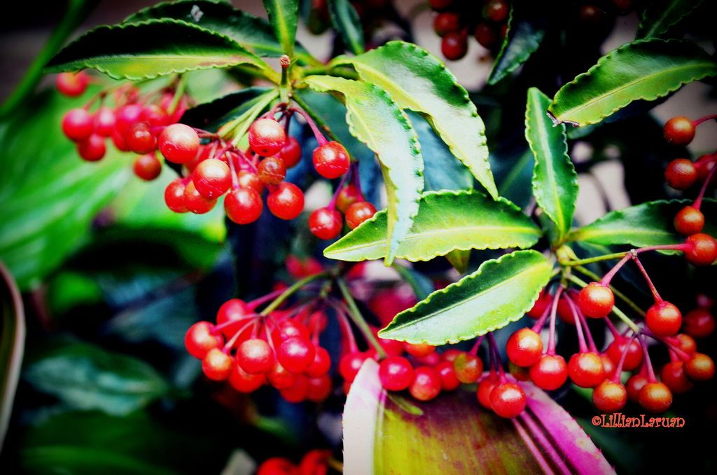 This Plant With Shiny Red Berries Is Called Money Tree Spotted At The Park While Jogging Burnham Baguio Ph Originalcontent Orginalphoto
