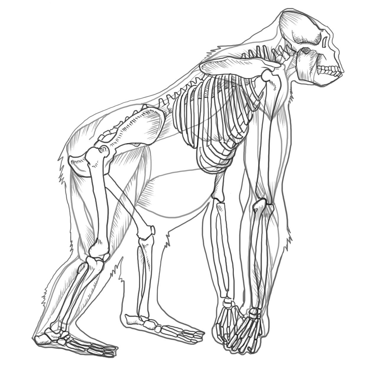gorilla.jpg] | animal anatomy | Pinterest | Animal anatomy, Anatomy ...