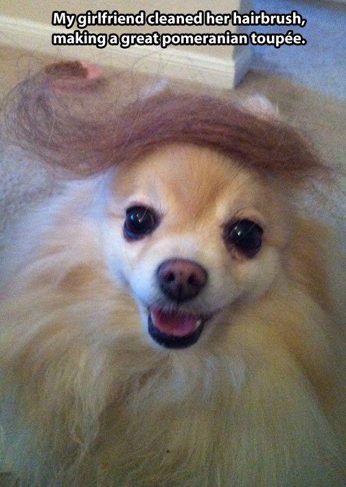 Great Pomeranian Toupee Cute Funny Dogs Funny Dog