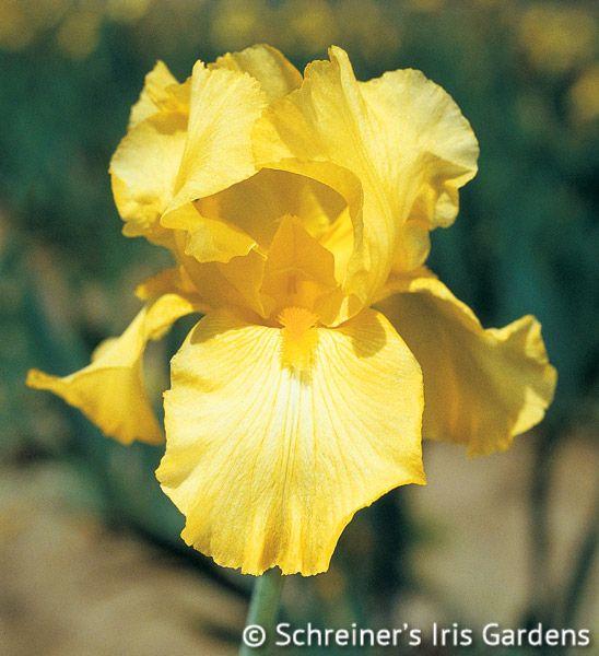Harvest of Memories   Historical Bearded Iris