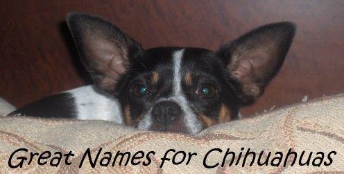 Top 100 Names For Chihuahuas Chihuahua Names Cute Chihuahua