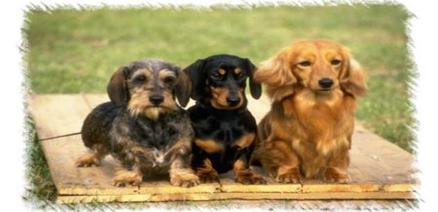 How To Raise Miniature Dachshund Puppies Dachshund Puppies For