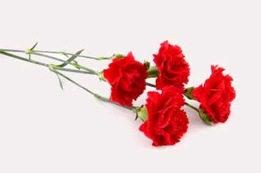 The Scarlet Carnation Is The State Flower Of Ohio Description From Elcivics Com I Searched For This On Bing Com Imag Red Carnation Mini Carnations Carnations