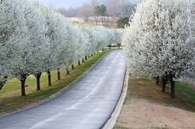 Image Result For What Are The Best Trees To Line A Driveway Growing Tree Fast Growing Trees