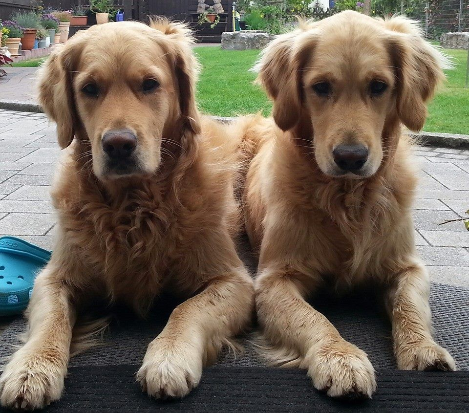 Double The Love Dogs Golden Retriever Dog Lovers