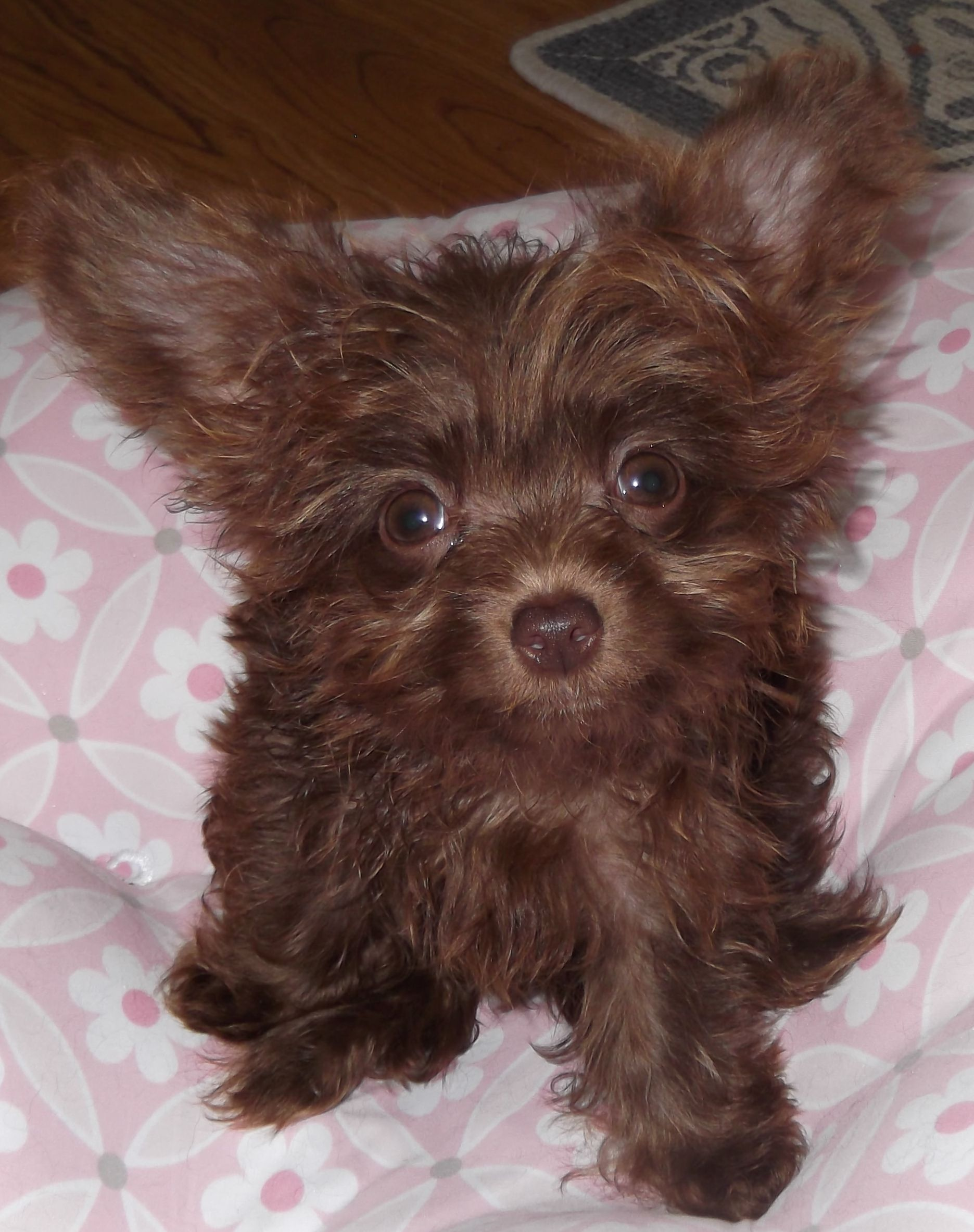 Chocolate Chipoo Oh My Lord He Is So Cute Chihuahua Poodle