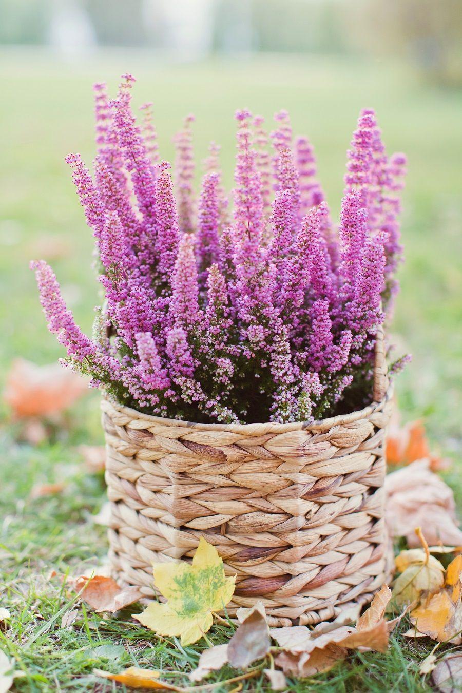 Leroymerlin Leroymerlinpolska Dlabohaterowdomu Inspiracje Kwiaty Wrzos Heather Plants Garden Back Gardens