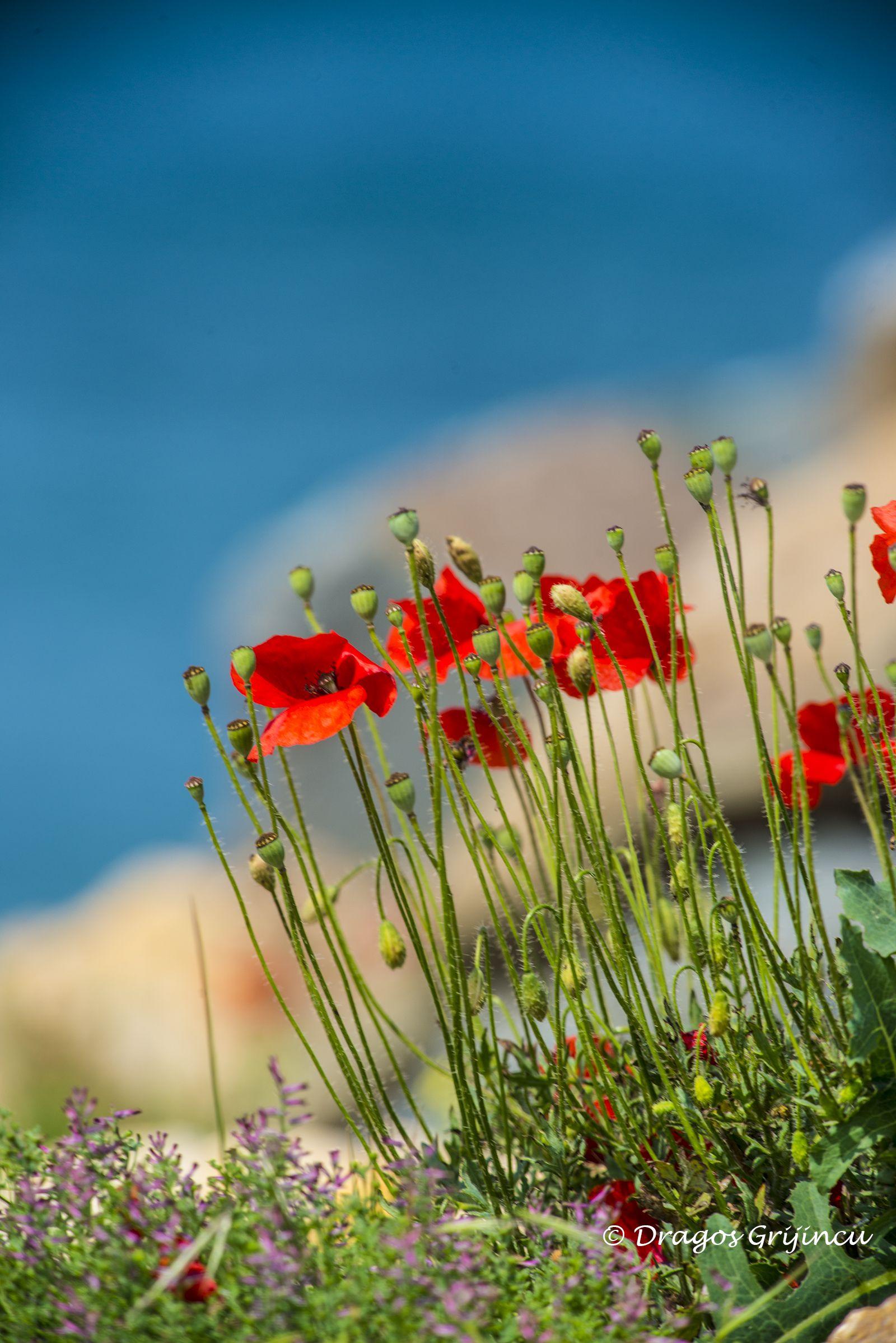 Flori de mac, Marea Neagra