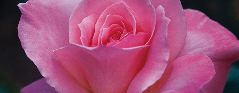 Hybridtearoses hybrid tea roses pinterest hybrid tea roses