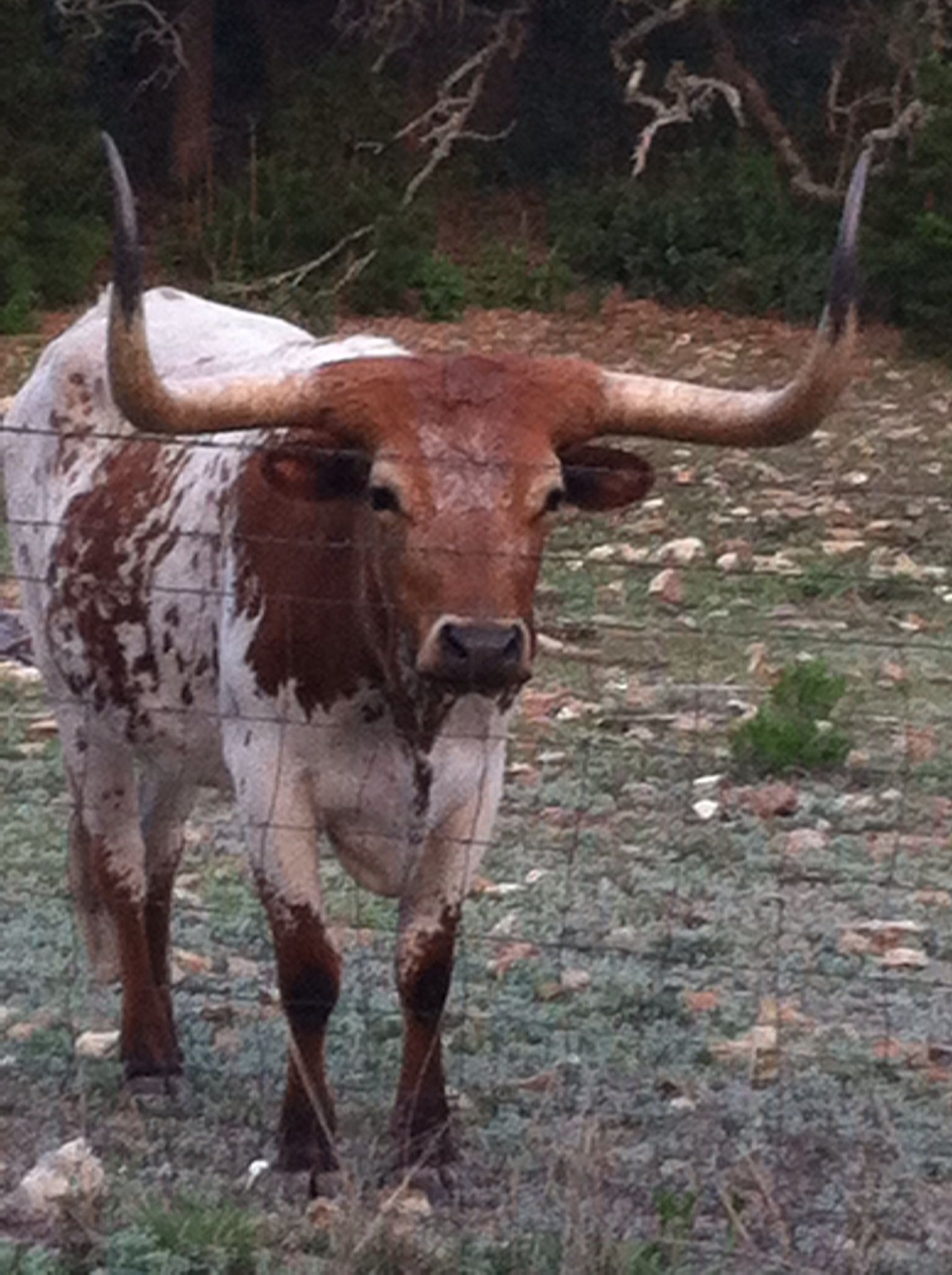 texas longhorn steer and bluebonnets cattle ranch and texas