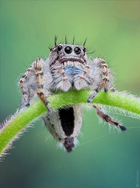 Hanging on    | Jumping spider, Pet spider, Spider tattoo