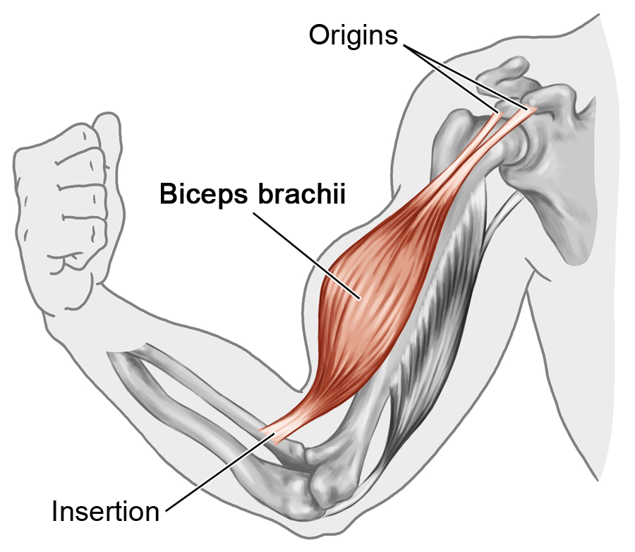 Learn muscle names and how to memorize them   Pinterest   Biceps ...