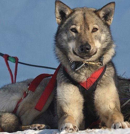 Pick Cute Iditarod Dog Of The Day Dogs Greenland Dog Alaskan Dog
