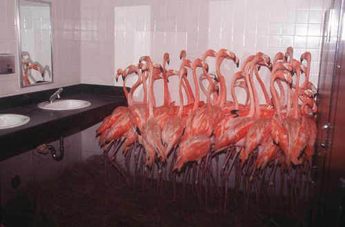 Flamingos Take Refuge In A Bathroom At Miami Metro Zoo Sept 14 1999 As Tropical Storm Force Winds From Hurricane Floyd Ap Hurricane Floyd Flamingo Pink Bird