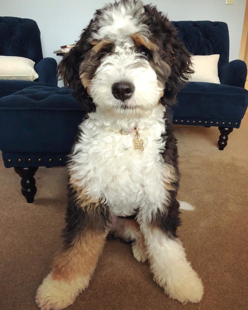 Bernedoodle Fans Boast That This Mixed Breed Has The Best Of Both Worlds From Its Bernese Mountain Dog And Poodle Par Bernedoodle Pretty Dogs Bernedoodle Puppy