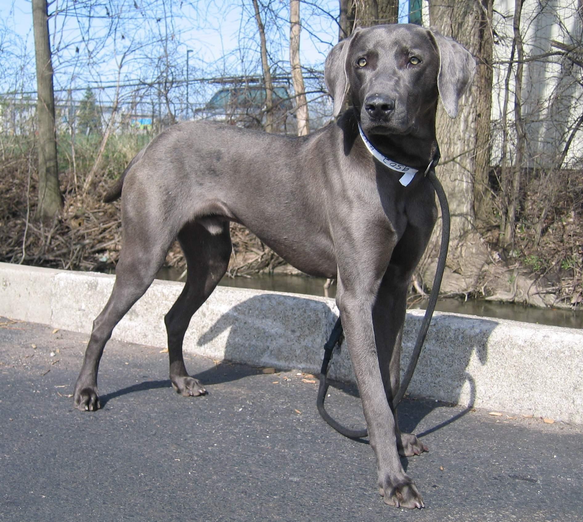 Adopt Blue On Weimaraner Puppies Blue Weimaraner Weimaraner