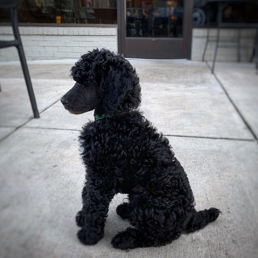 The Good Boy Heritage Service Dogs Pluto The Poodle Christine