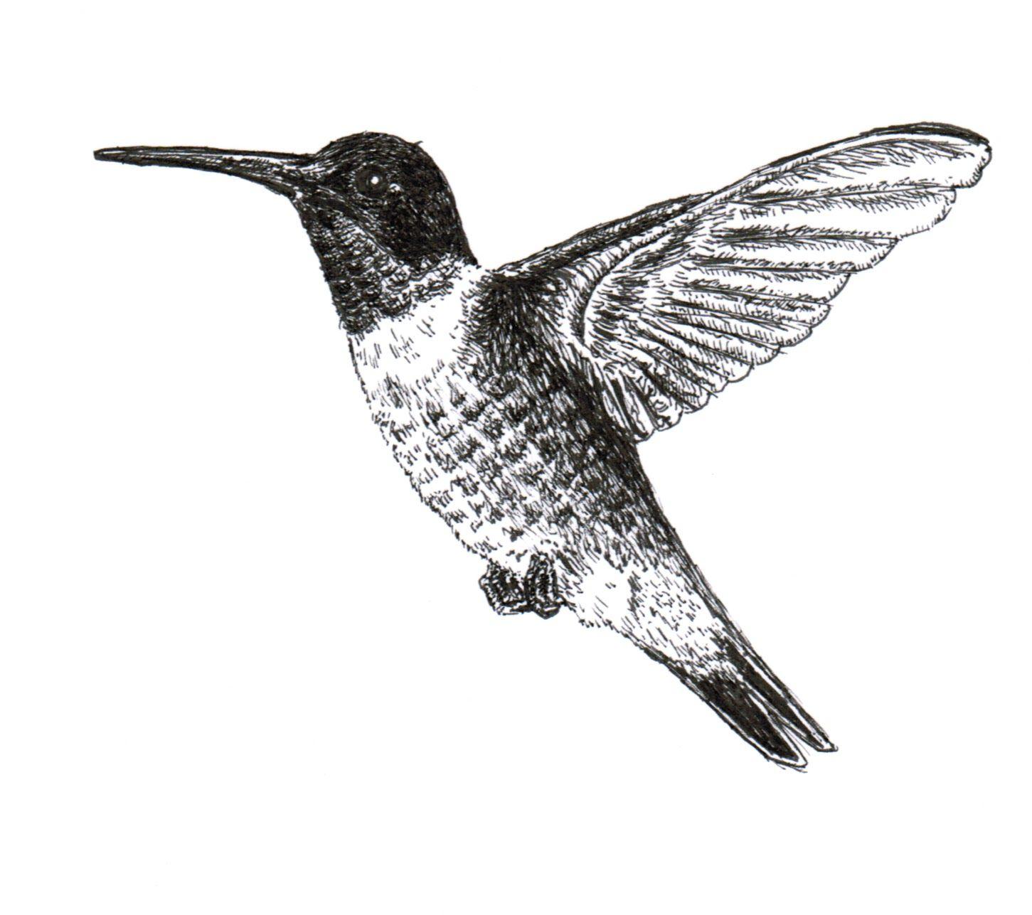 Hummungbird Sketch Chuck Art Ruby Throated Hummingbird Ink Drawing Sketches