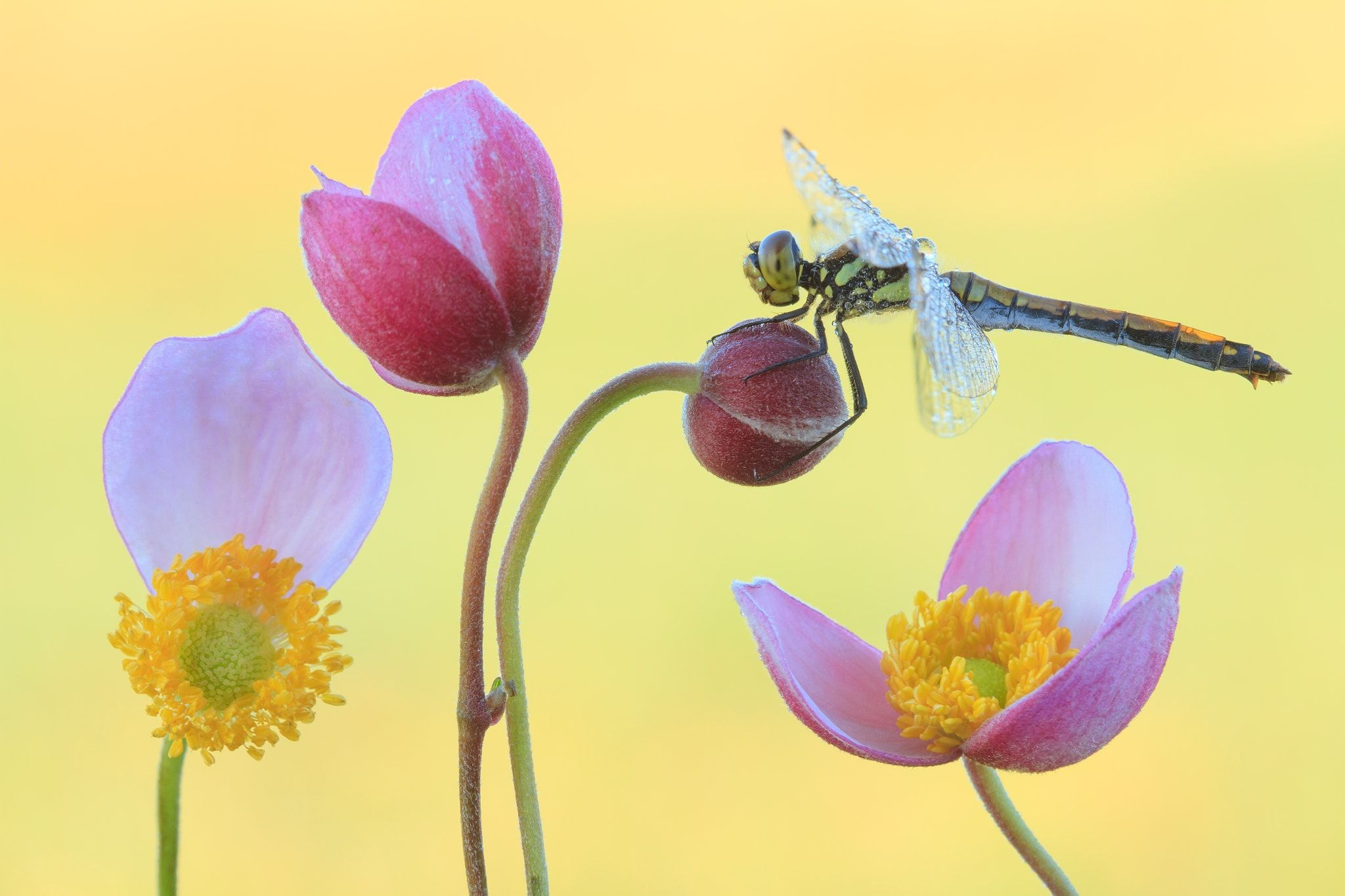 Dragonfly.... - On September charm Anemone