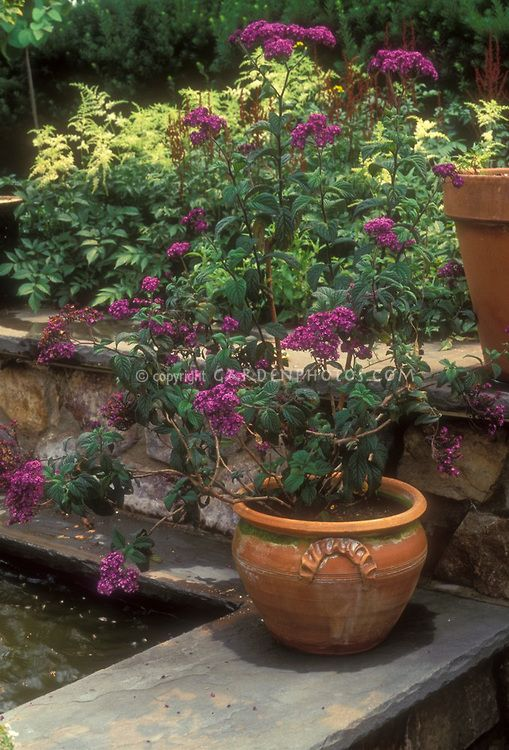 Heliotrope growing and flowering in terracotta pot container.